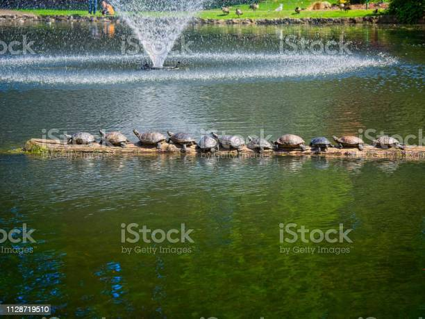 Turtles sunning in the public beacon hill park picture id1128719510?b=1&k=6&m=1128719510&s=612x612&h=1dqp3q6xajig7ge4akdnslgc1hl19xjh5rt4mcannps=