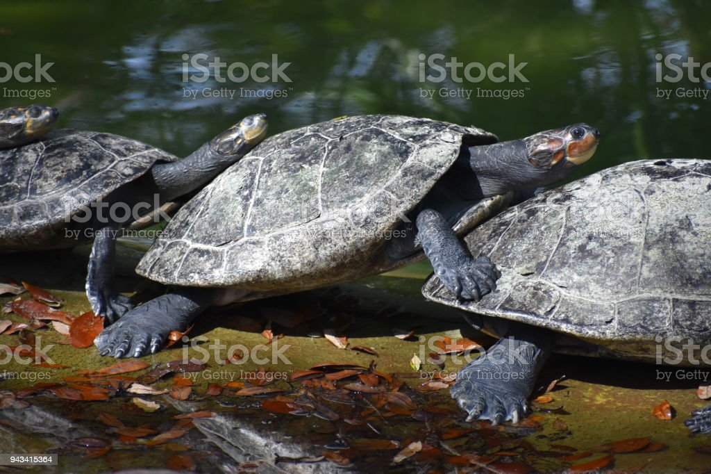 Turtles sunning on a log stock photo