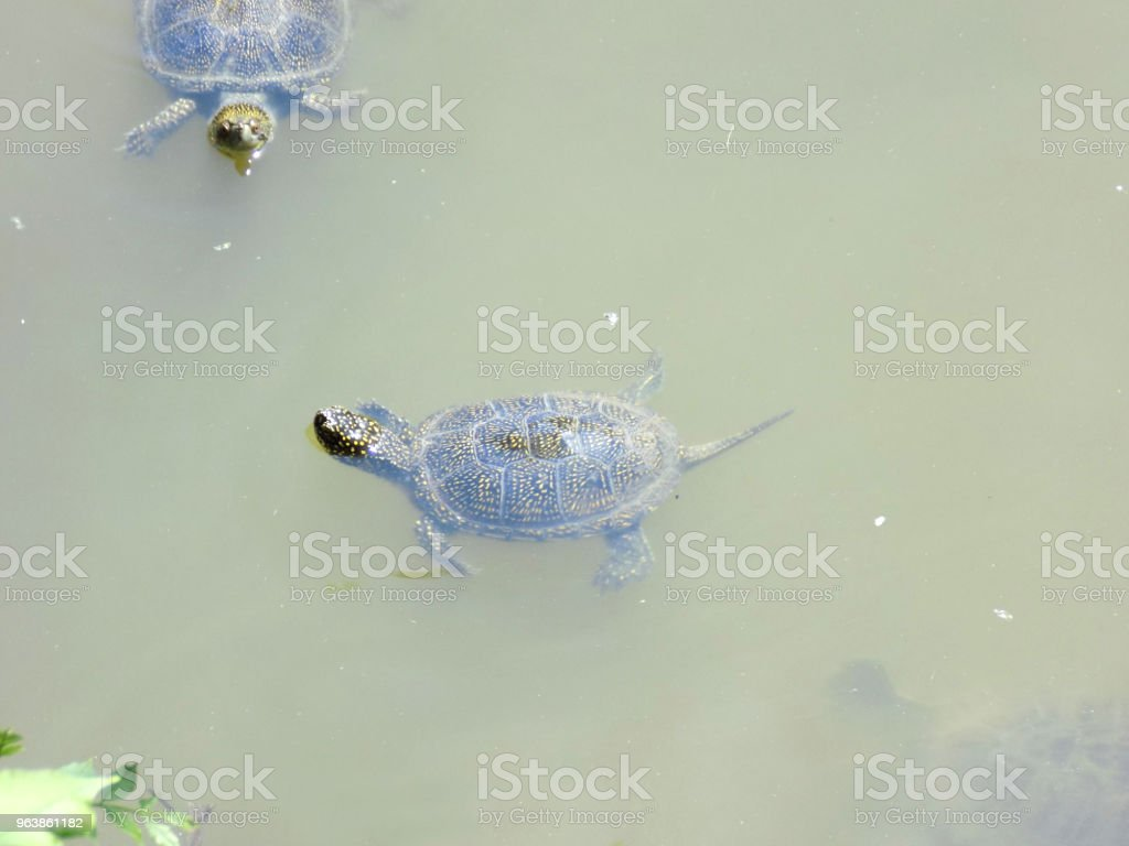 Turtles swimming in the swamp water - Royalty-free Animal Wildlife Stock Photo