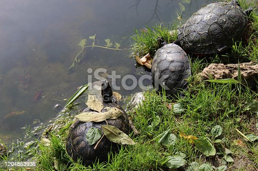 turtles together near a pond at summer