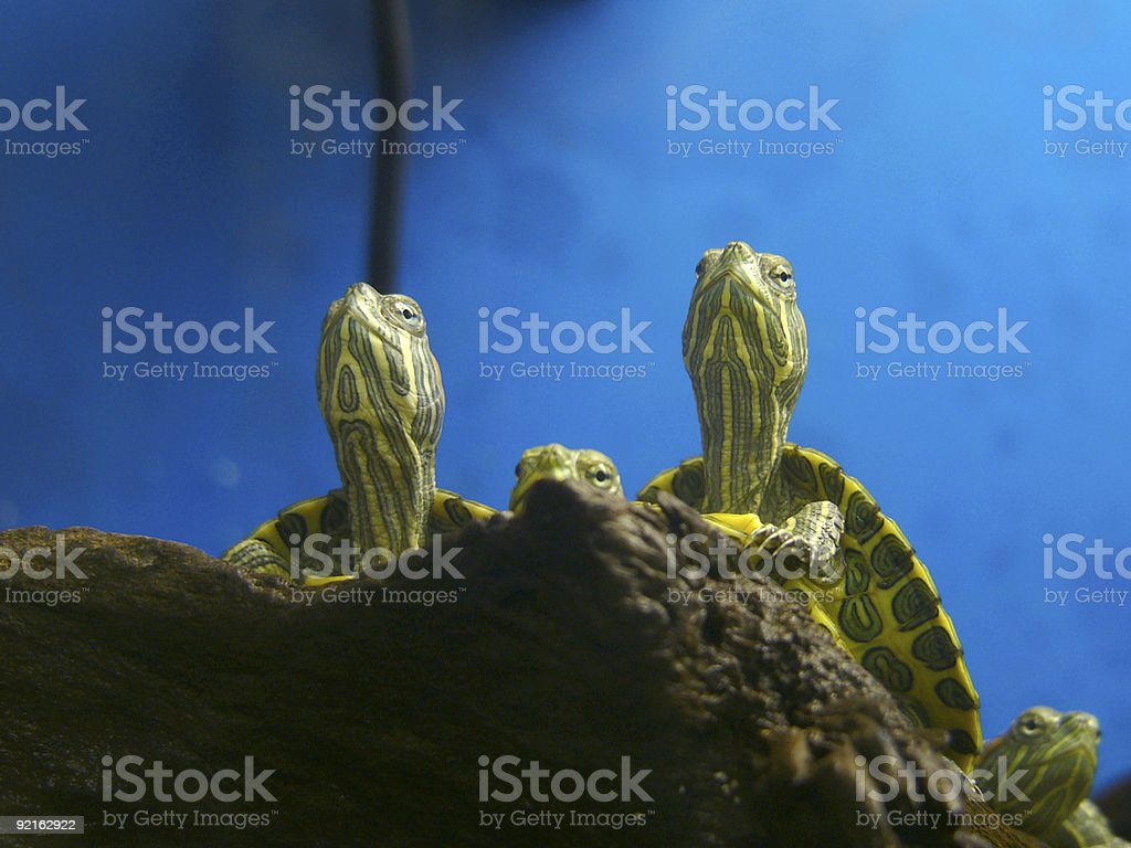 Turtles warming themselves under lamp royalty-free stock photo