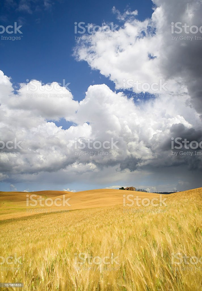 tuscan corn field with dramatic sky royalty-free stock photo