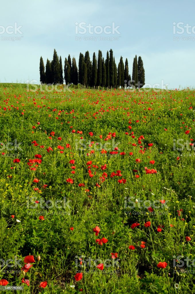 Tuscan countryside with poppies royalty-free stock photo