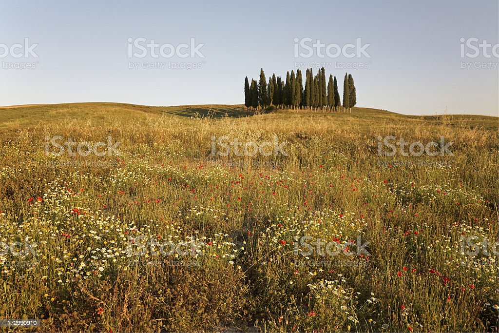Tuscan cypress trees II royalty-free stock photo