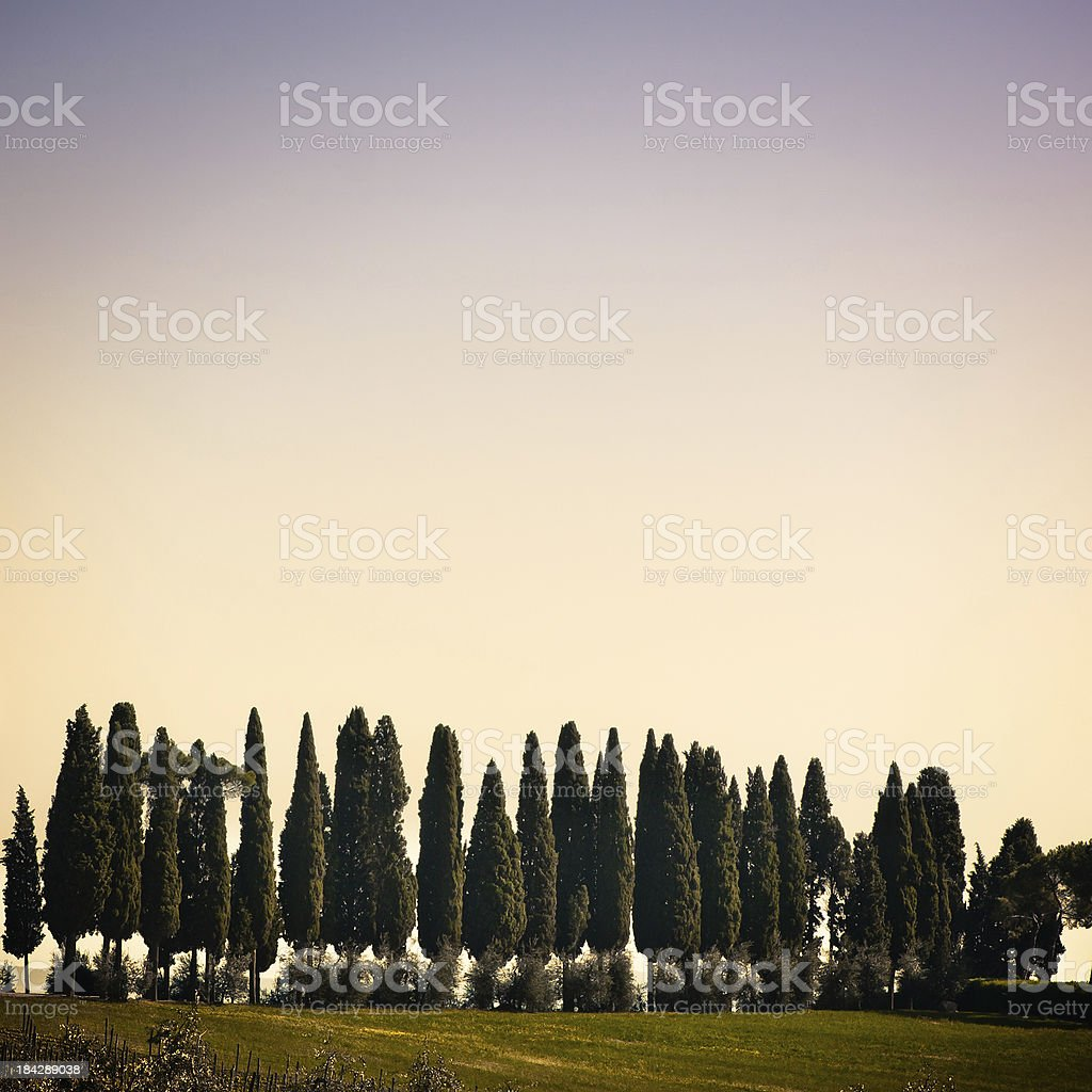 Tuscan Cypresses against Empty Sky, Val d'Orcia in Italy royalty-free stock photo