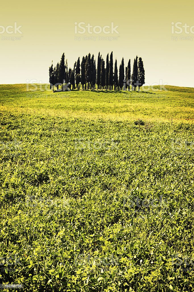 Tuscan Cypresses over a Sea of Grass, Val d'Orcia stock photo