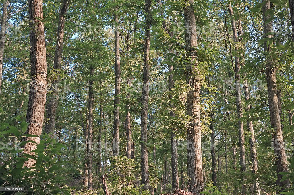 Tuscan forest - Tall trees in the wood royalty-free stock photo
