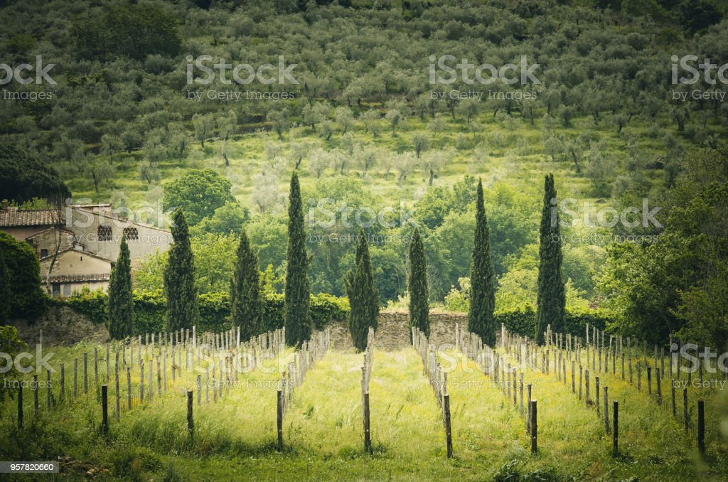 Tuscan landscape with cypress trees and vine yards stock photo