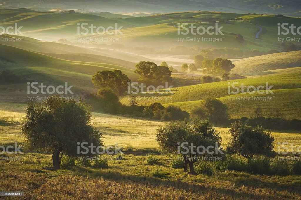 Tuscan olive trees area of Siena, Italy stock photo