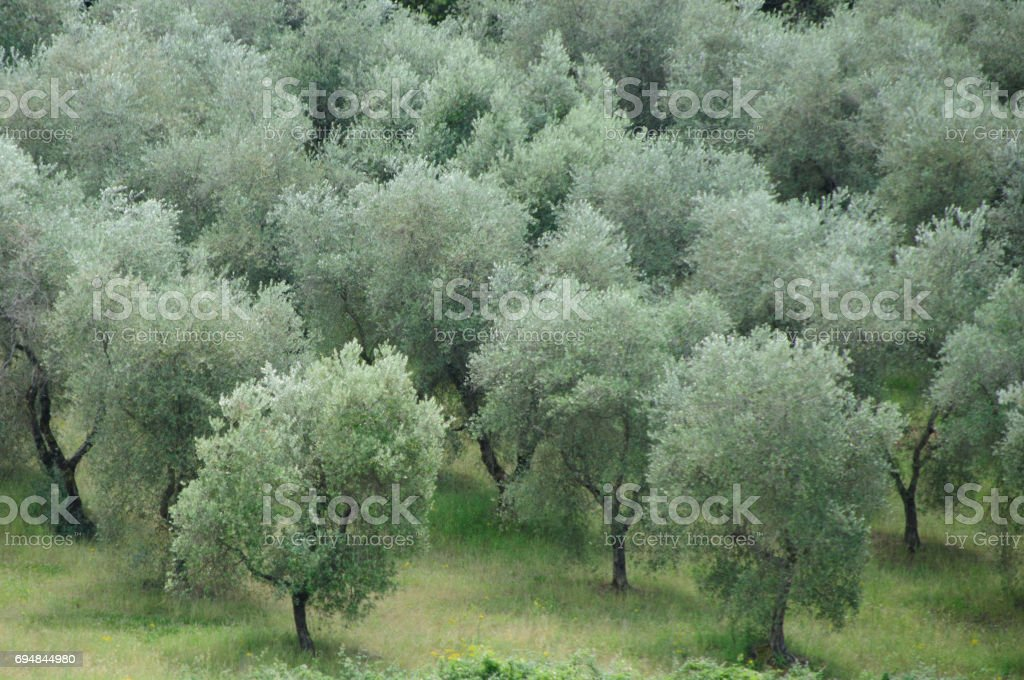 Tuscan Olive Trees stock photo