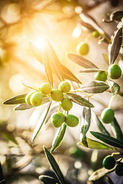 olive toscana - ramoscello d'ulivo foto e immagini stock