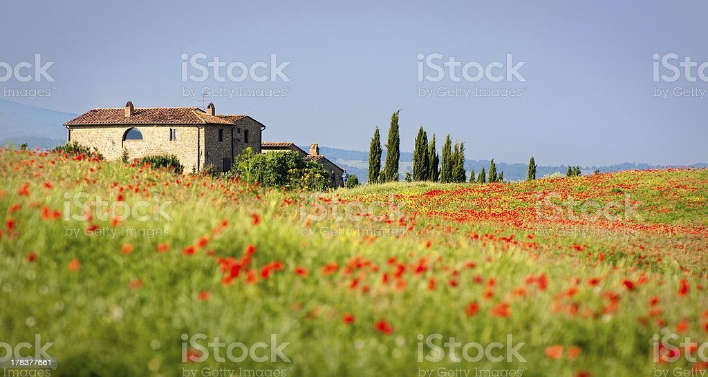 Tuscan red poppies stock photo