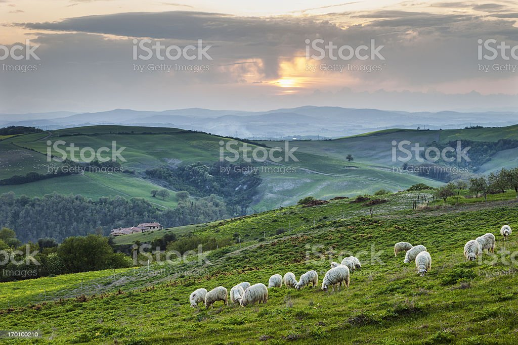 Tuscan sheep royalty-free stock photo