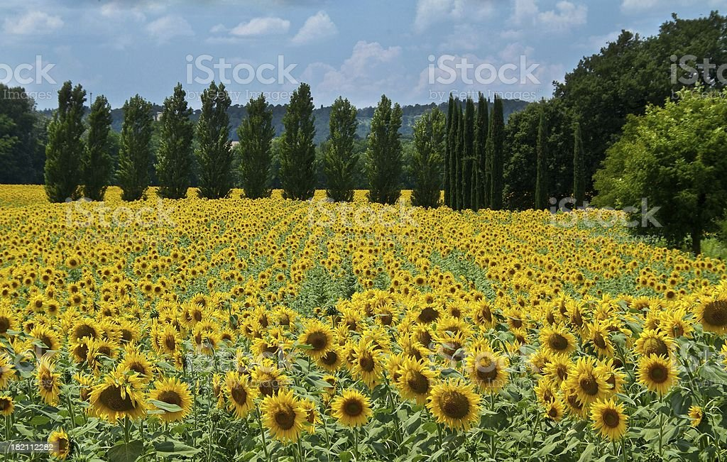 Tuscan Sunflower Field royalty-free stock photo