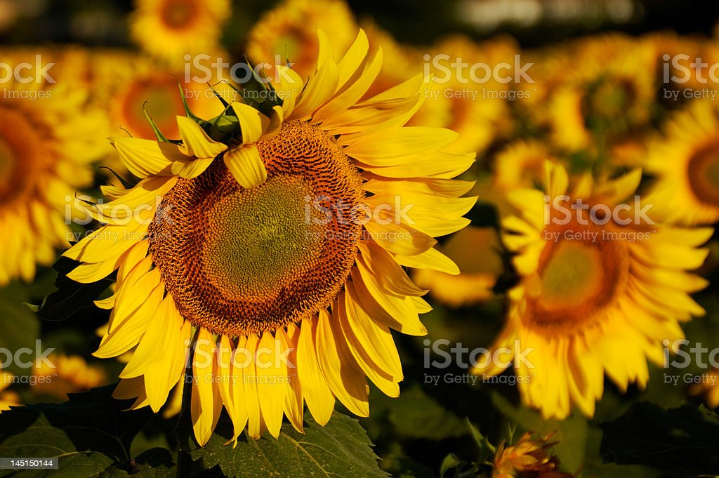 Tuscan Sunflower royalty-free stock photo