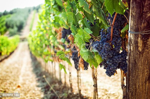 Tuscan vineyard with red grapes ready for harvest.