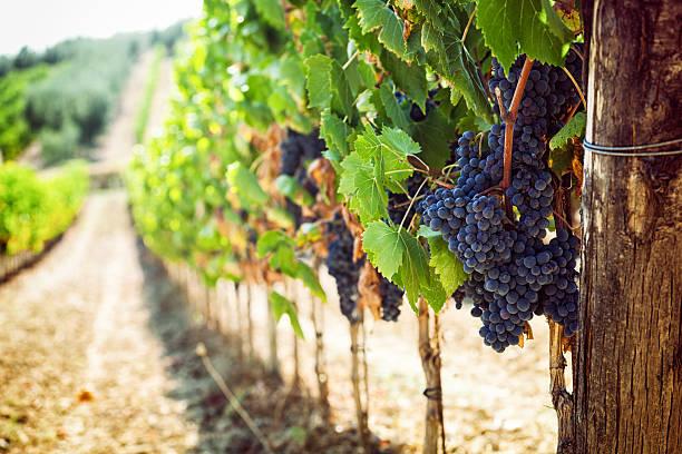 tuscan vineyard with red grapes. - vineyard bildbanksfoton och bilder