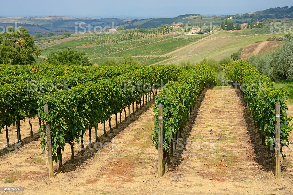Tuscanian vineyard stock photo