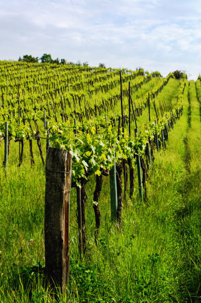Tuscanian vineyards in a sunny morning stock photo