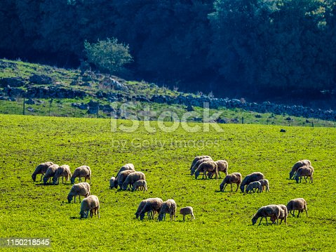 Flock of sheep in the Tuscany countryside of Italy