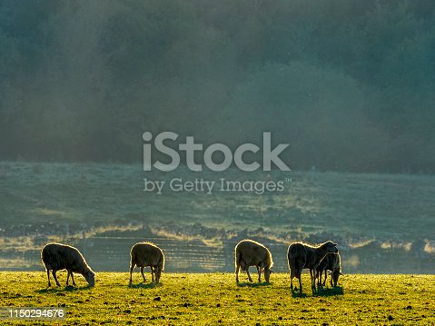 Flock of sheep grazing in the morning light in the Tuscany countryside of Italy