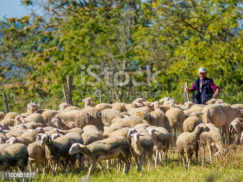 Tuscan region in Italy on October 14, 2017: Sheep herding in the Tuscan countryside of Italy