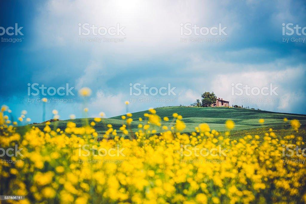 Tuscany Canola Field stock photo
