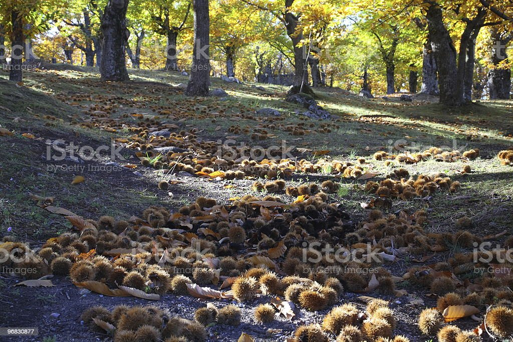 Tuscany Chestnuts in Autumn Wide royalty-free stock photo