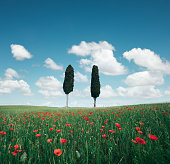 Two cypress trees in the middle of poppy field on a beautiful sunny summer day.