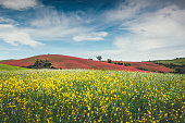 Idyllic Tuscany landscape with colorful fields (Val D'orcia, Italy).