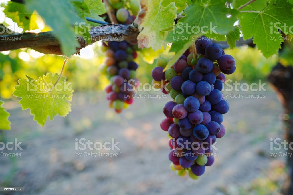 Tuscany hills vineyards, Italy stock photo