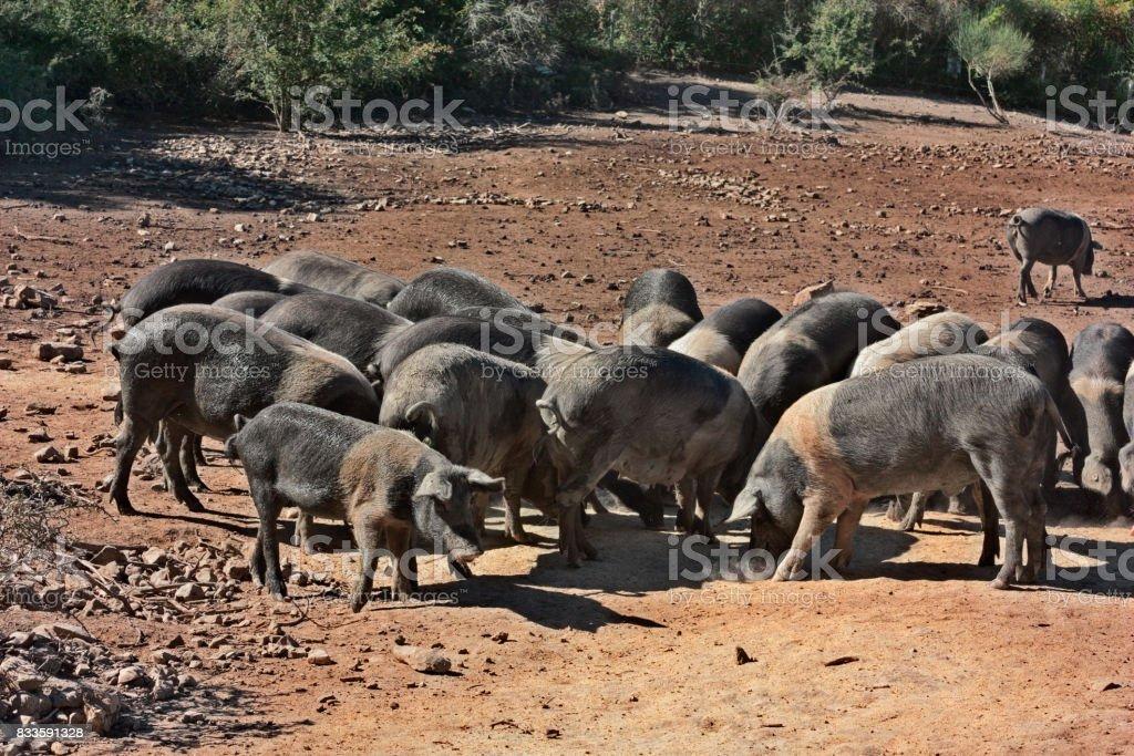Tuscany, Italy: breed of typical pig Cinta Senese stock photo