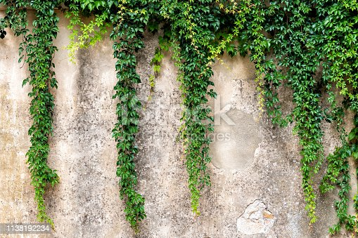 istock Tuscany, Italy with closeup of stone wall in Monticchiello small town village and creeping climbing green plant 1138192234