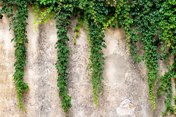 Tuscany, Italy with closeup of stone wall in Monticchiello small town village and creeping climbing green plant stock photo
