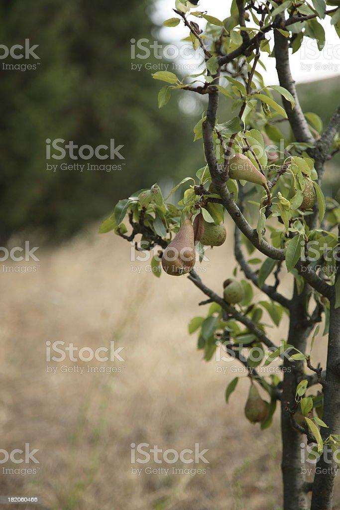 Tuscany: Pears royalty-free stock photo