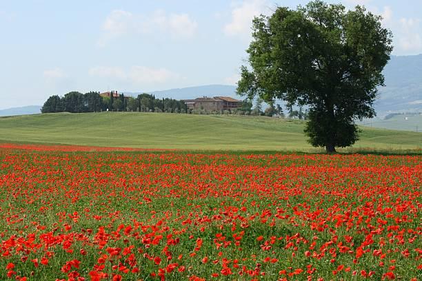 Tuscany Poppy Seed Field with Tree stock photo