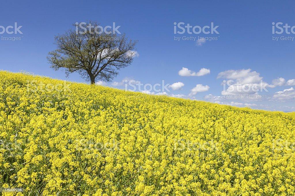 Tuscany rapeseed stock photo