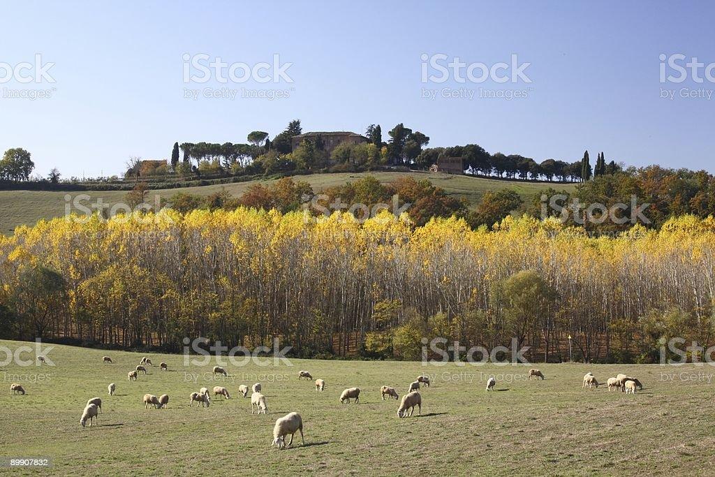 Tuscany Sheeps of Orcia Valley Fall royalty-free stock photo
