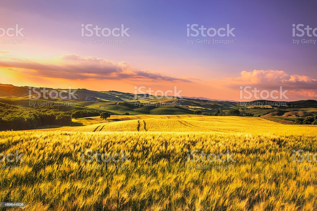 Tuscany spring, rolling hills,  wheat on sunset. Siena rural l stock photo