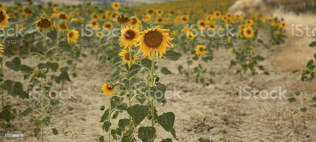 Tuscany:  Sunflowers royalty-free stock photo