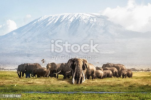 Famous big tusker bull elephant Tim with family herd in front of Mt. Kilimanjaro in Amboseli, Kenya Africa