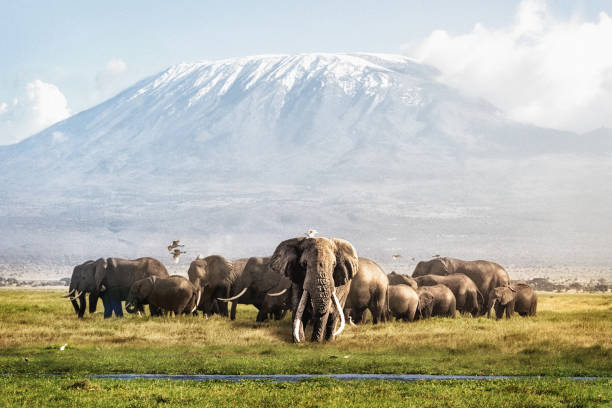 Tusker Tim and Family in Front of Kilimanjaro stock photo