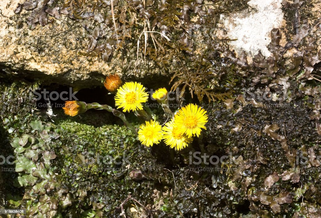 Tussilago farfara, commonly known as coltsfoot stock photo