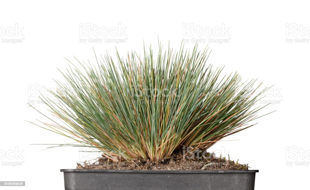 Tussock grass in flowerpot stock photo