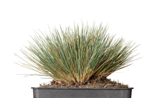 Tussock grass in flowerpot stock photo