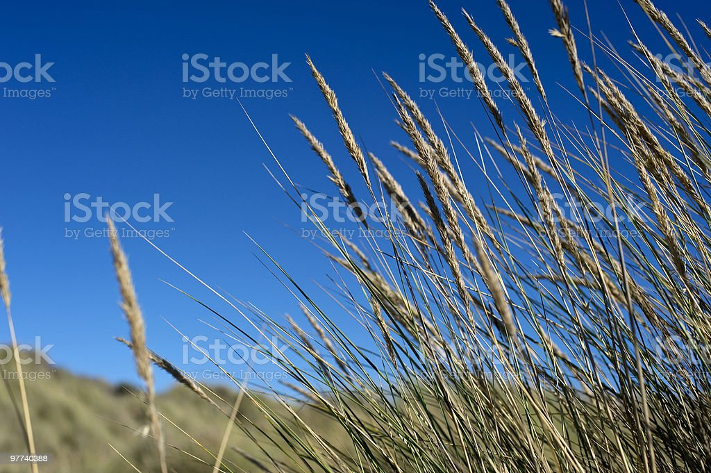 Tussock in sand dune stock photo
