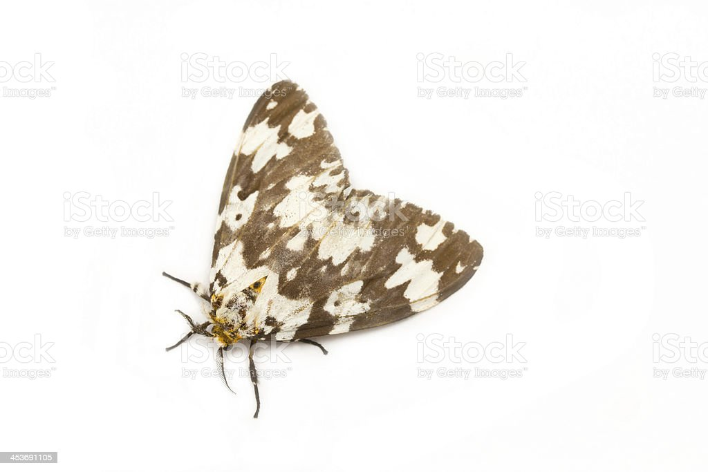 Tussock moth butterfly isolated on white background. stock photo