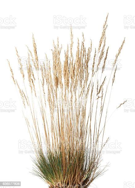 Photo of Tussock of dry grass with panicle