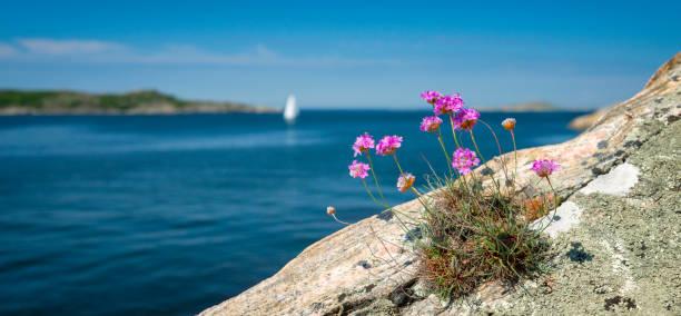 tussock av sparsamhet och vita segel - bohuslän nature bildbanksfoton och bilder