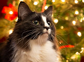 Tuxedo cat in front of Christmas tree
